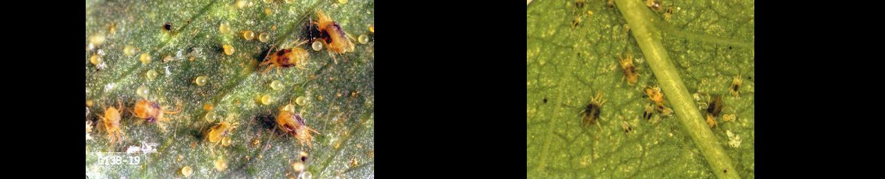 acariens feuilles de houblon