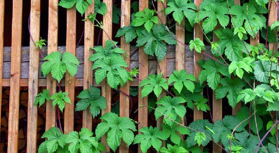 houblon du jardin