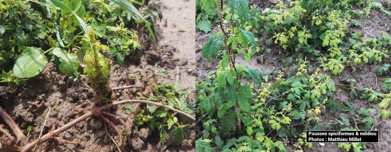 Pousses spiciformes mildiou houblon