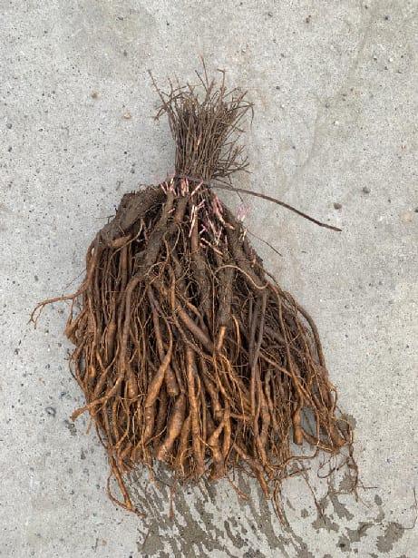 racines de houblon