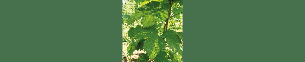dégâts visibles pucerons du houblon