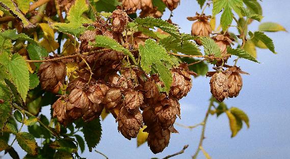 fleurs de houblon oxydées